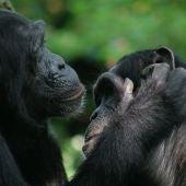 Bonobos y chimpances son capaces de entenderse con gestos