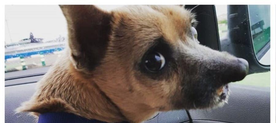 Lucky, el perro operado en Valencia