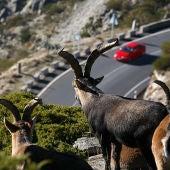 Cabras montesas frente a una carretera