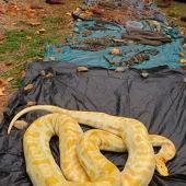 600 animales intervenidos y nueve detenidos de una red de tráfico de reptiles