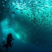 Oceana sardine Run moalboal photo by Ferdinand Edralin
