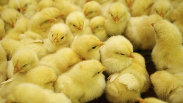 """América Valenzuela: """"¿Cómo respiran los pollitos dentro del huevo?"""""""