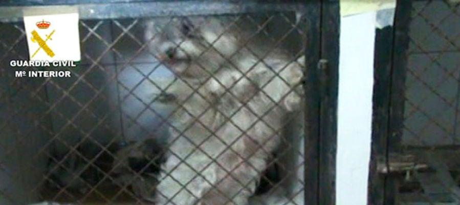 Imagen facilitada por la Guardia Civil de los perros maltratados en Paracuellos del Jarama