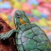¿Por qué no debes pintarle el caparazón a las tortugas?