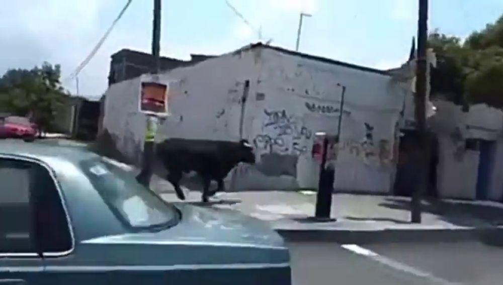 Un toro se escapa y causa el pánico en las calles de Ciudad de México