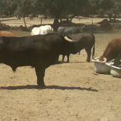 Los toros de la Ganadería de El Estoque protagonizarán el cuarto encierro de San Sebastián de los Reyes