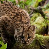 La 'guiña', un leopardo diminuto