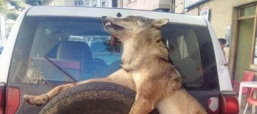 Un lobo muerto atado a un coche en Asturias
