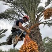 Un palmerero corta un ramazo de dátiles en una palmera de Elche