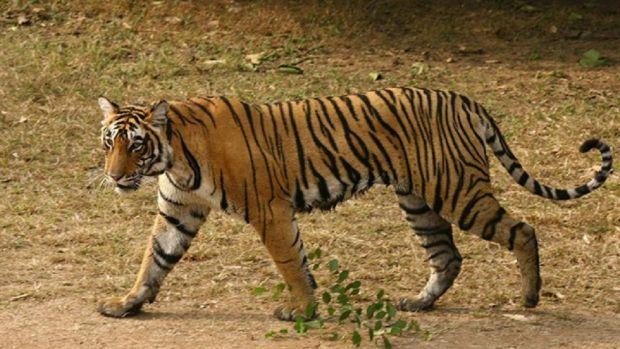 Entró en una casa abandonada a fumar porros y se encontró un tigre