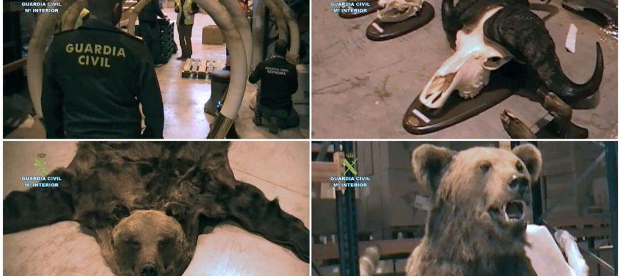 Combo de fotografías facilitadas por la Guardia Civil que ha intervenido en Guadalajara trofeos de caza
