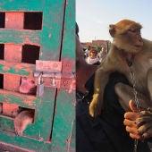 Los selfis con macacos de Berberia disgustan a los turistas de Marruecos