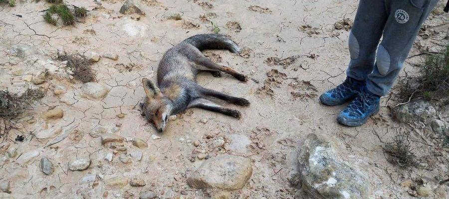 El cuerpo sin vida de la zorra que Margalló Ecologistes en Acció d'Elx sospecha que fue envenenada