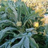 Alcalchofas afectadas por las heladas de la pasada madrugada en Elche