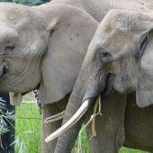 El cambio de dientes en los elefantes provoca un efecto yoyo en su peso