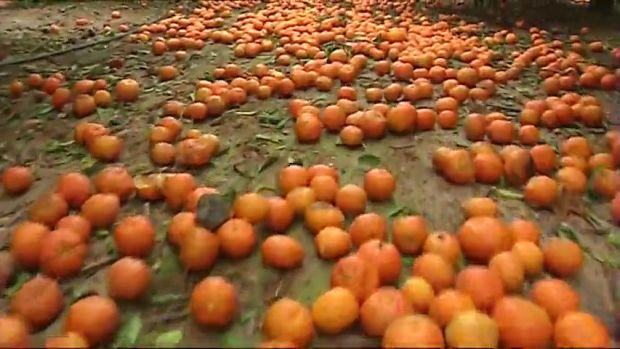 Toneladas de naranjas se quedan sin recoger por la competencia sudafricana.