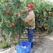 Un agricultor recolecta Granada mollar en una plantación de Elche