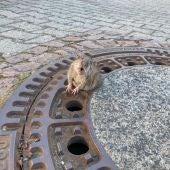 La rata atrapada