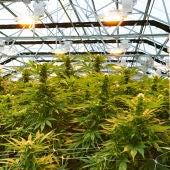Foto de archivo de una plantación de marihuana