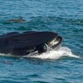 Una ballena tragándose a un buzo