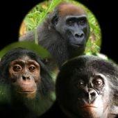 Asi reaccionan chimpances gorilas y bonobos ante una camara en el bosque