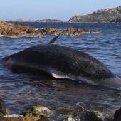 Encuentran una ballena muerta con un feto y 22 kilos de plástico en su interior