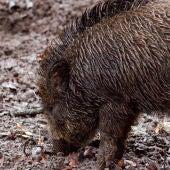 Asturias Ganadera muestra su preocupación por los daños de la fauna