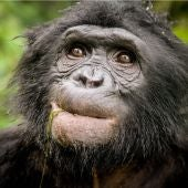 Descubierto un nuevo linaje de chimpance extinto en el ADN de bonobo