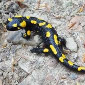 Salamadra Salamandra