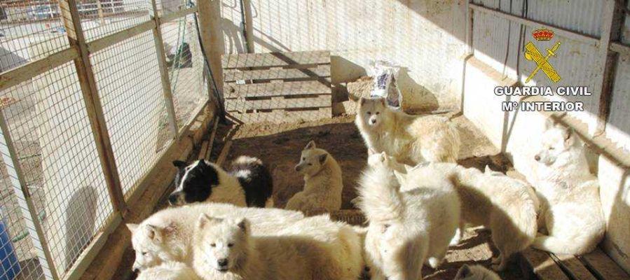 Perros enjaulados en la finca de Sax inspeccionada por el Seprona.