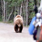 El oso pardo ataco 664 veces al ser humano entre 2000 y 2015 en todo el mundo