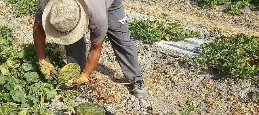 Un agricultor recolecta un melón en el parque agrario de Carrizales de Elche.