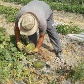 Un agricultor recolectando melón