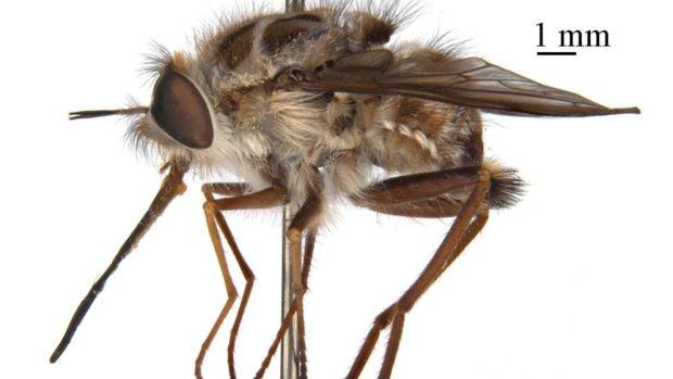 El Rey de la Noche: La nueva mosca australiana que deja zombies a sus víctimas