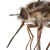 La nueva mosca australiana 'El Rey de la Noche'