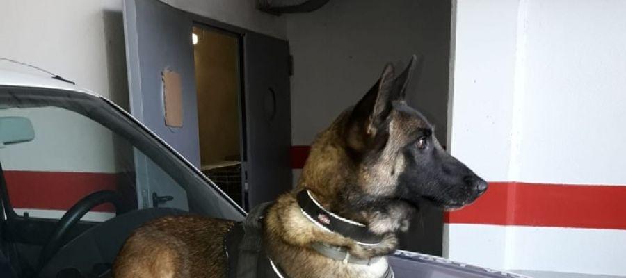 Perro de la unidad canina de la Policía Local de Elche.
