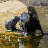 Cría león marino Oceanogràfic