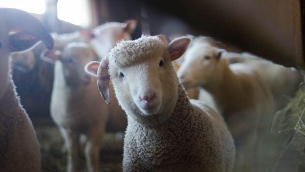 Un ganadero se enfrenta a 18 meses de prisión por dejar morir de hambre a sus ovejas