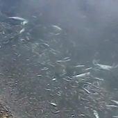Aparecen miles de peces muertos en la orilla de una playa del Mar Menor