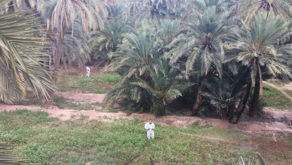 Trabajos de tratamiento fitosanitario en un huerto de palmeras de Elche.