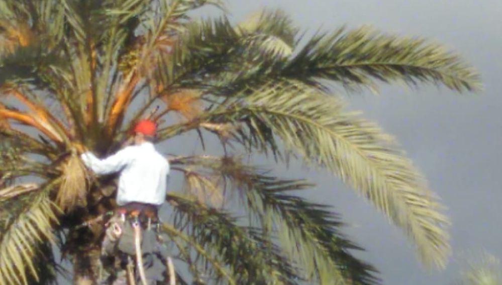 Un palmerero poda una palmera en Elche.