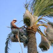 Un palmerero en tareas de mantenimiento de una palmera datilera en Elche.
