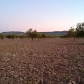 Olivar en Villaconejos