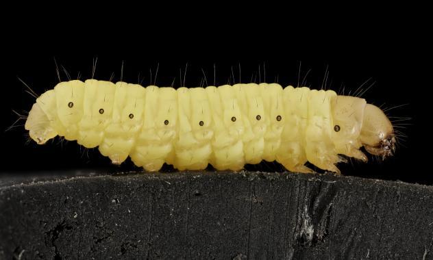 La brújula de la ciencia: La larva que podría acabar con los residuos plásticos