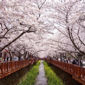 Cerezos en flor, Gunhangje