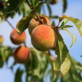 La temporada de recogida de la fruta comenzarán en unas semanas