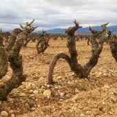Cepas y viñas de Fuenmayor-La Rioja