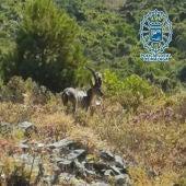 Cabra Montés liberada por la Policía Local de Málaga.
