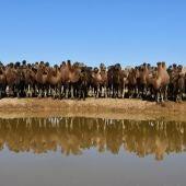 Camellos en el desierto del Gobi
