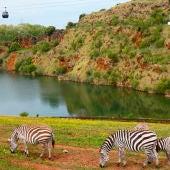 Cebras en el Parque de Cabárceno